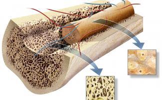 Ilustración hueso cortical esponjosos