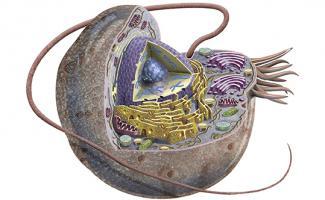 Ilustración celula animal