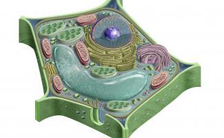 Ilustración celula vegetal