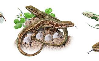 Ilustración lagartija
