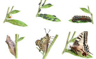 Ilustración metamorfosis macaón