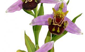 ilustracion ophrys apifera
