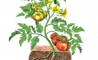 Ilustración planta de tomate